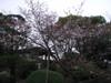 20070329sakura02