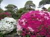20080502tsutsuji06